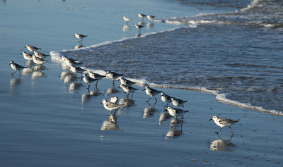 Sandpipers Birds searching for food, Fort Fisher, North Carolina