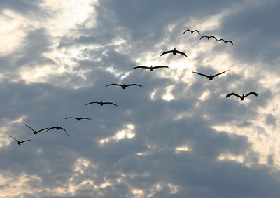 Evening Flight, 10 Pelicans and 3 Seagulls, Kure Beach, North Carolina