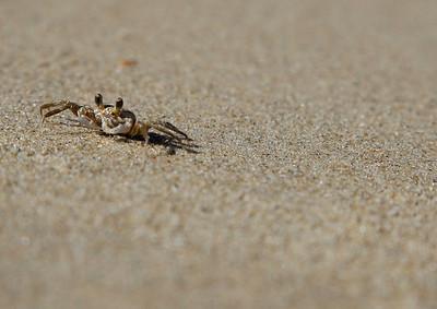 Sand Crab, Caswell Beach, North Carolina