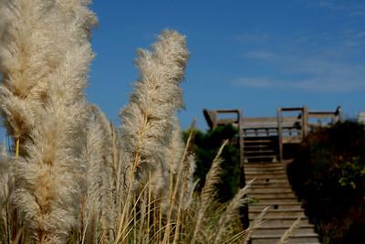 Pampas Grass leads to the Dock, Corolla Beach, North Carolina