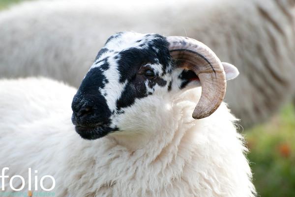THE SHEEP