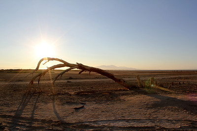 A dead tree on the shores of the Salton Sea.