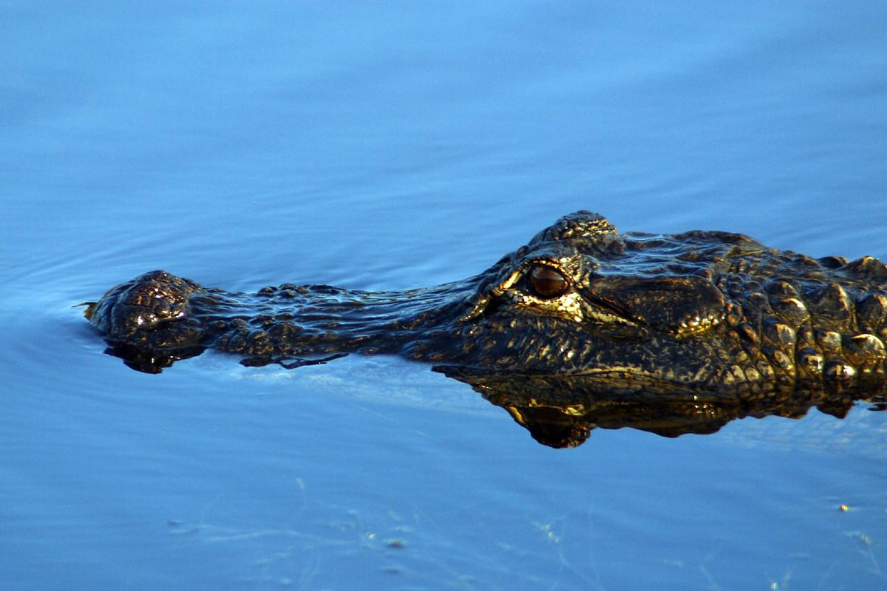 Alligator 4