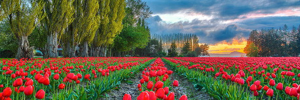 Tulips and Trees at Twlight
