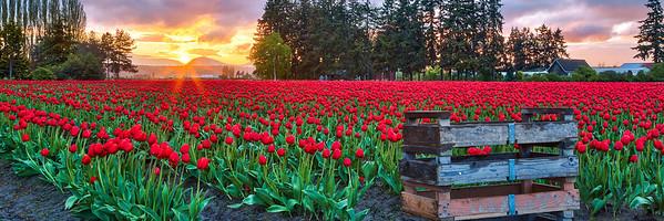 Tulips at Twlight Pano