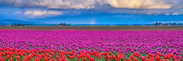 Tulip Rainbow Pano