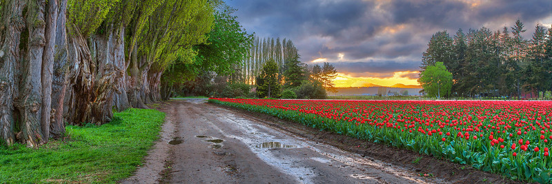 Tulips Trees and Road at Twlight