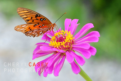 Monarch butterfly resting on pretty pink flower