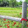 Pretty wild rose vine on fence by pretty garden patch