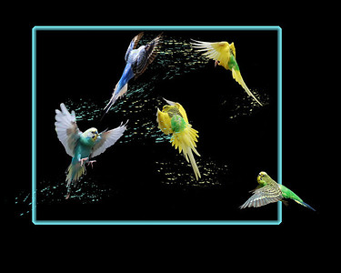 a digital collage of parakeets in a feather fight