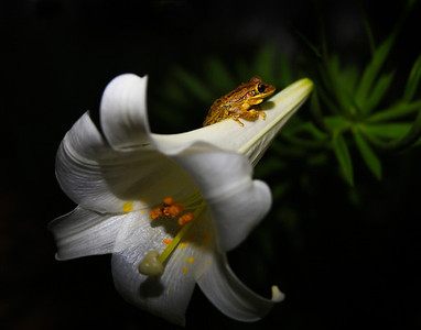 frog on lilly