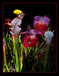 Pitcher plants, damn hard to find!!!!