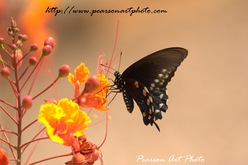 A black butterfly on a bright yellow and red flower