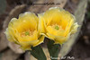 Pair of Yellow flowers from Brown-spined Prickly Pear Cactus