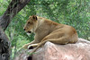 An african lioness perched on a rock