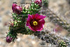 Staghorn Cholla cactus flower (Cylindropuntia versicolor)