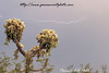 Daytime lightning catch over a jumping cholla cactus