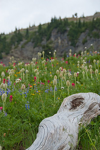 Wildflowers cover the alpine meadows along the Naches Loop Trail.