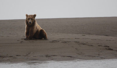 """These coastal brown bears like to dig a """"butt-hole"""" in the sand and watch for salmon in the creek.  Why shouldn't a bear be comfortable?"""