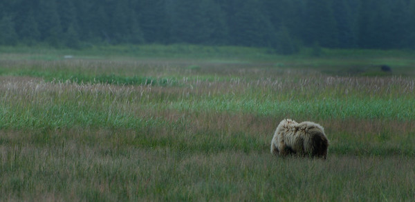 This large brown bear is happily grazing in a field just off the beach at Silver Salmon Creek Lodge, Alaska.