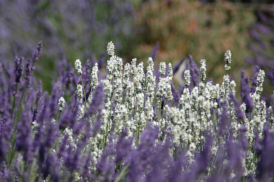 White lavendar - I did not know it existed.  I thought all lavender was, well, lavender...