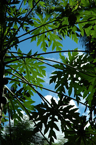 Leaves of a canopy alonga trail to a popular snorkeling spot on the west side of the island.