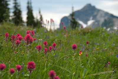Indian Paintbrush covers the meadows along the Naches Loop trail.