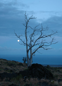 This old tree survived many lava flows on the Big Island of Hawaii.