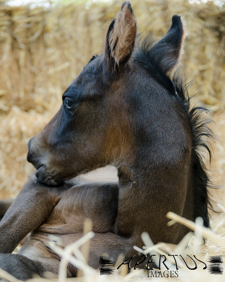 A beautiful new foal named Pixie, about 12 hours old (2013)