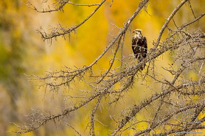 Bald Eagle against Golden Cottonwoods