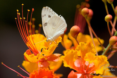 Cabbage White Butterfly on Southwest Bird of Paradise