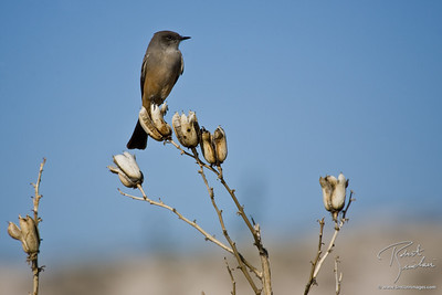 Western King bird resting on a Yucca