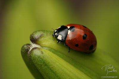 Lady Bug Feasting on Aphids