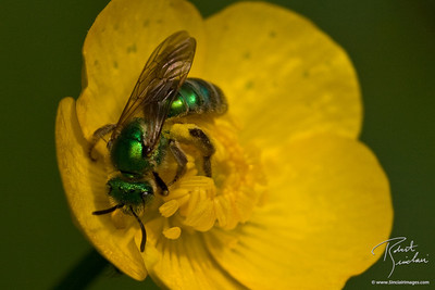 Closeup of Green Sweat Bee
