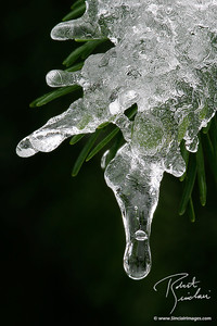 Ice Laden Fir Needles