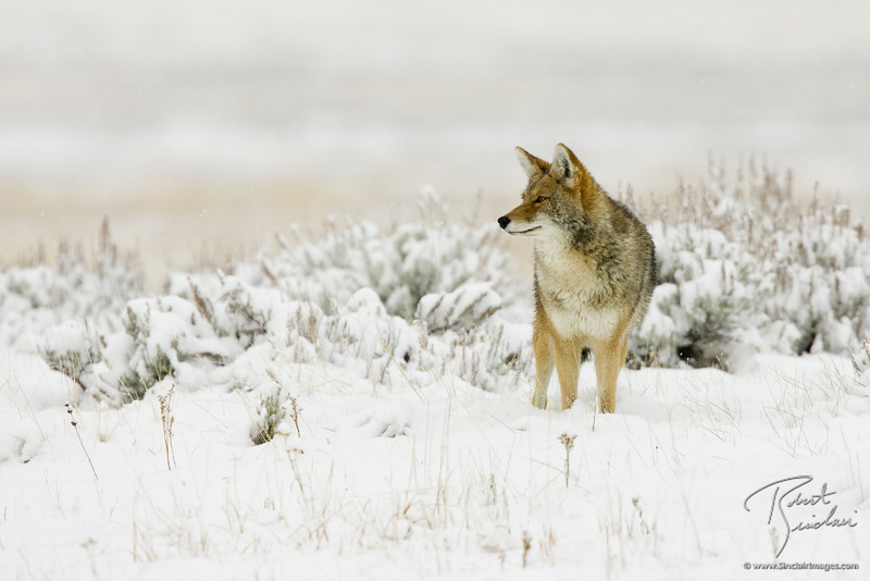 Coyote in search of a warm winter lunch
