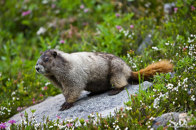 Marmot against greenery