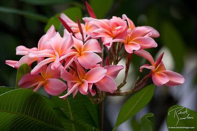 Pink Plumaria