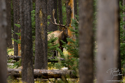 Bull Elk Hiding in Forest