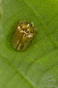 Golden Tortoise Shell Beetle