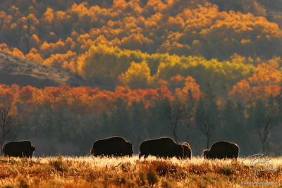 Backlit Bison