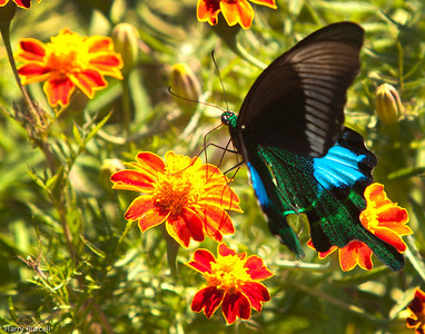 Just one of many butterflies enjoying the nectar of the flowers around the school grounds at Mongar, Bhutan.