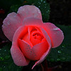 a glowing rose captured by Judi in Molde, Norway