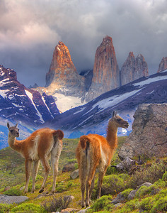 Guanacos in Patagonia distant cousin to the camel, not to llamas