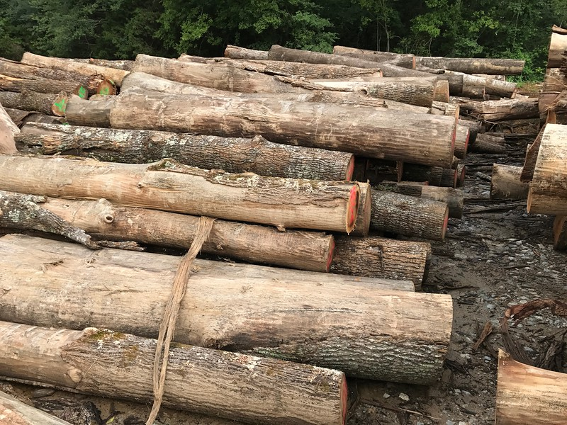 Poplar (Tulip Tree) Logs