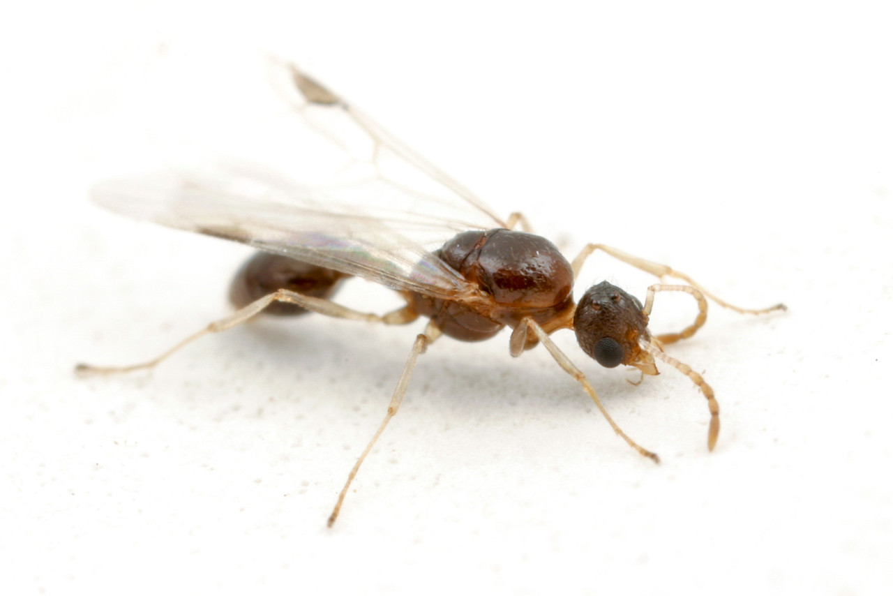 Temnothorax