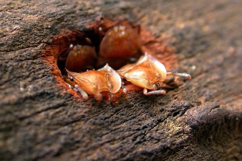 Cephalotes clypeatus turtle ant workers protect their nest entrance with well-armed heads.  Paraguay