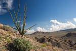 Fouquieria splendens - ocotillo