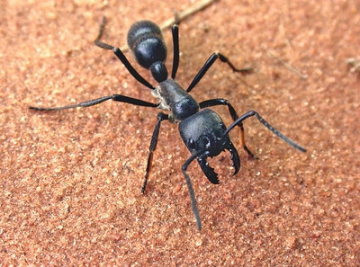 Dinoponera australis, one of the world's largest ants.  Paraguay