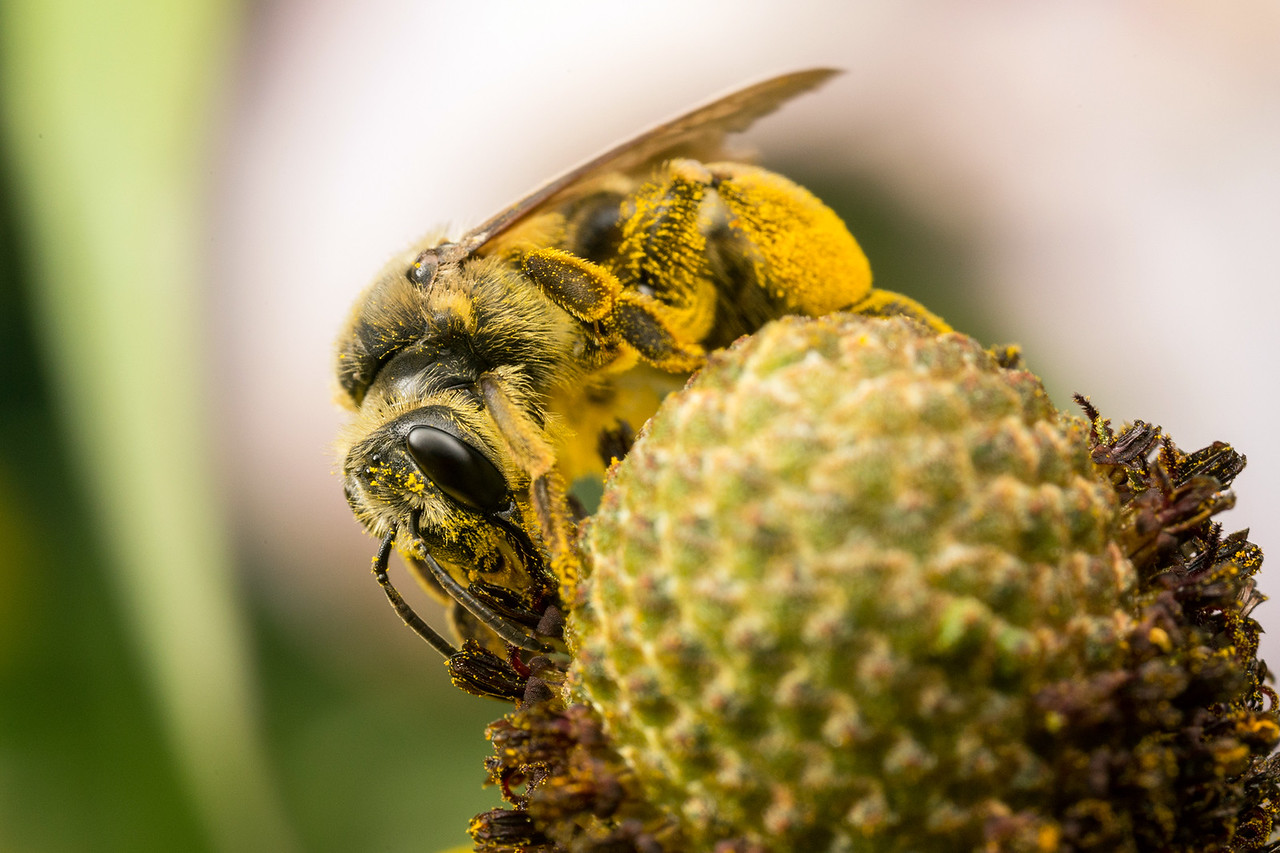 A native bee gathers pollen from coneflower